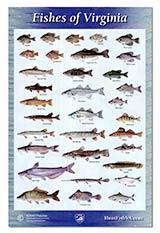 54463 - Virginia Wildlife Fishes of Virginia Poster, 11x17 - thumbnail